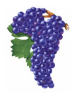 Pinot Noir Wine Grapes