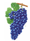 Zinfandel Wine Grapes